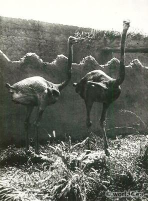 African plucked ostriches. Shua Arabs, Bornu. Baggara.