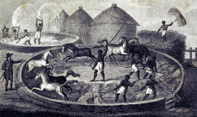 Threshing grain. South Africa. 19th century history