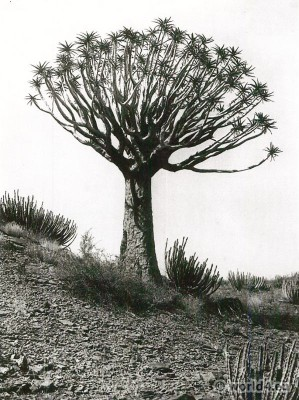 Aloe tree and Euphorbia, Nama Land, S.W. Africa. African plants botanic