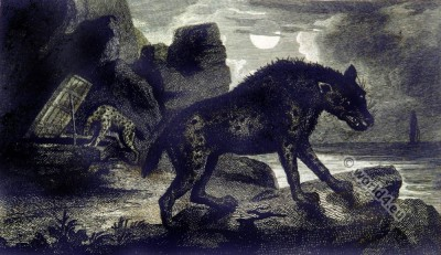 Hyena at night. South Africa. 19th century history.