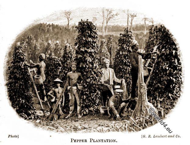 Malabar, Kerala, pepper, plantation, Asia, Kolonialismus, Joan Berenice Reynolds