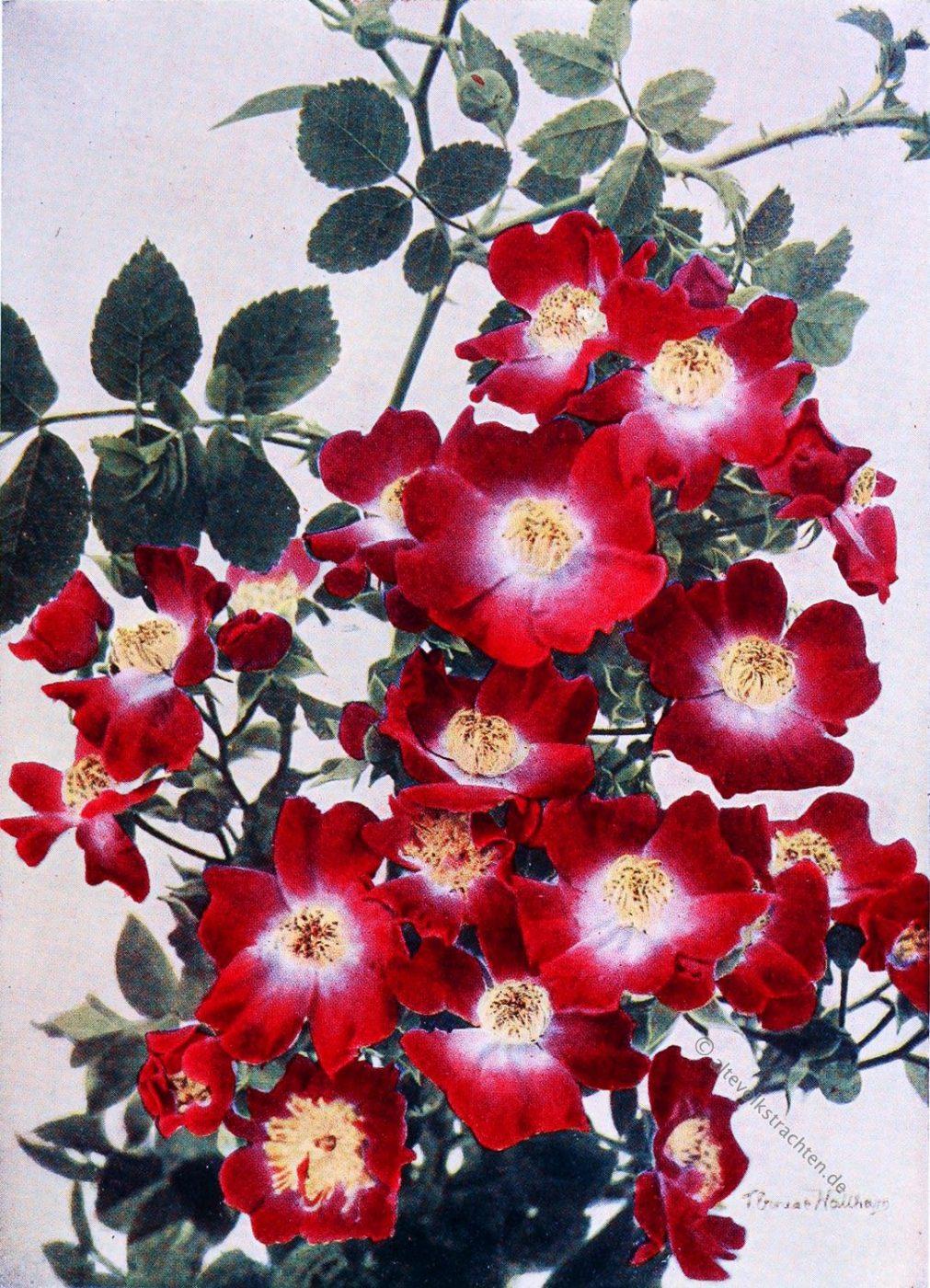 Hiawatha, Wichuraiana, Old Roses, Rambler