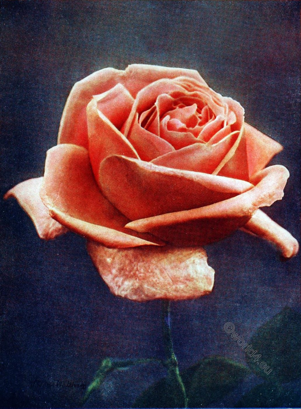 Lyon Rose, Old Roses,