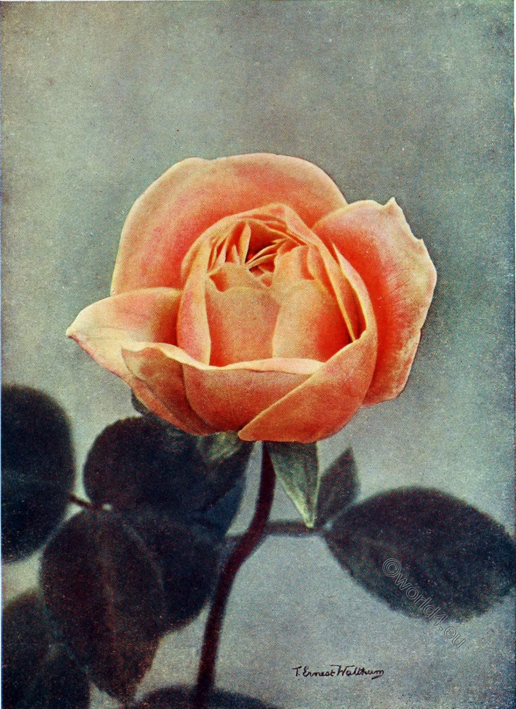 Madame Ravary, Old Roses, Joseph Pernet-Ducher, rosarian