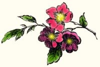 Wild, Roses, Illustration,