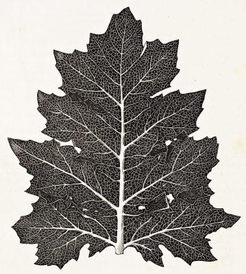 acanthus leaf, Roman, ornament, decoration, ancient