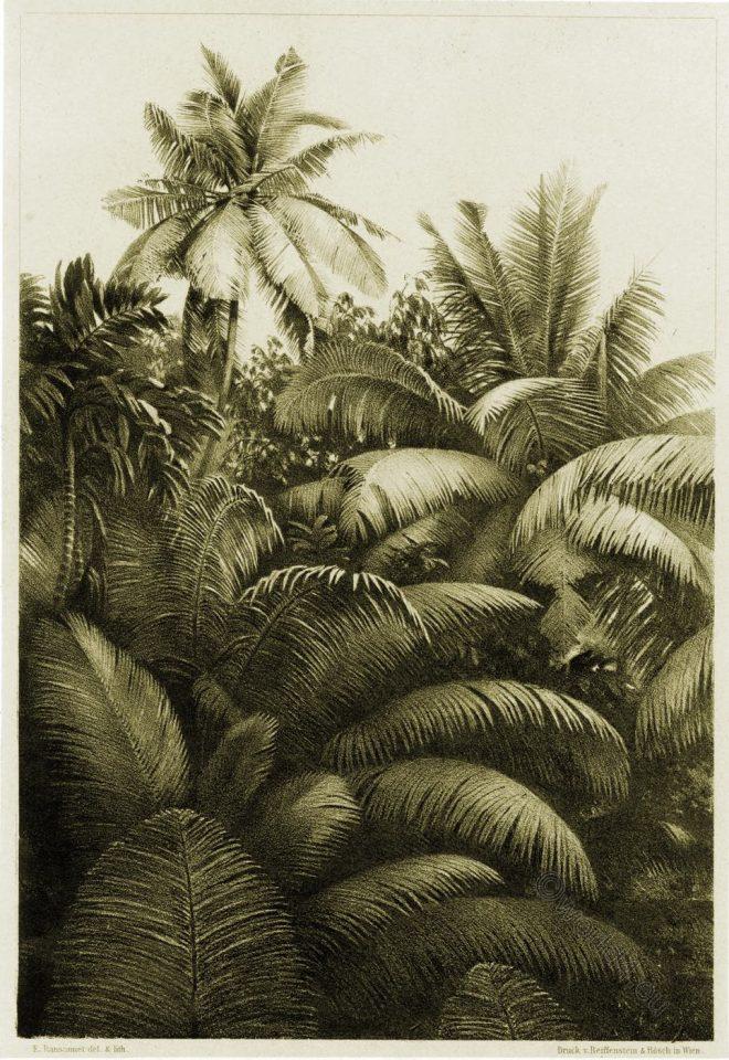 coconut palm, Cocos nucifera, Sri Lanka,