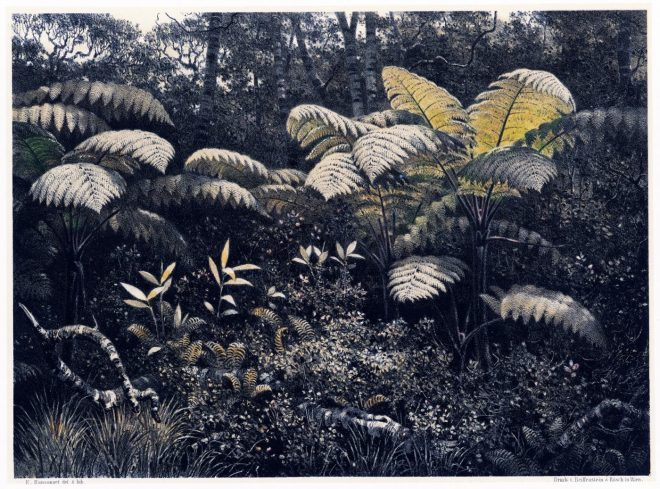 Alsophila, crinita, tree ferns, Fougères-Arbres, Sri, Lanka, highlands, rainforest,
