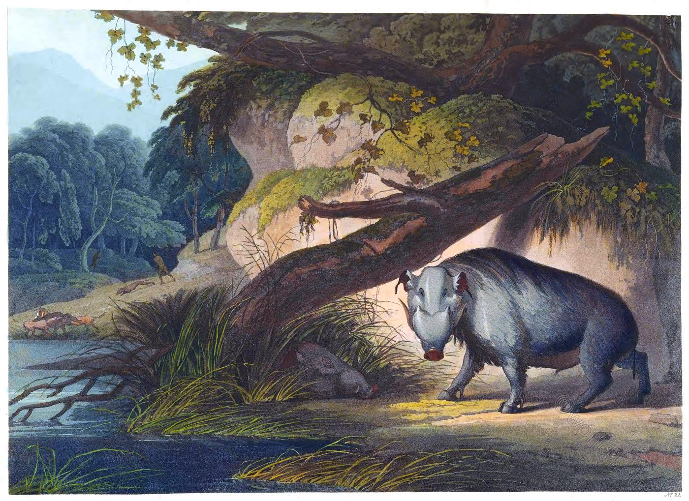 African, hog,