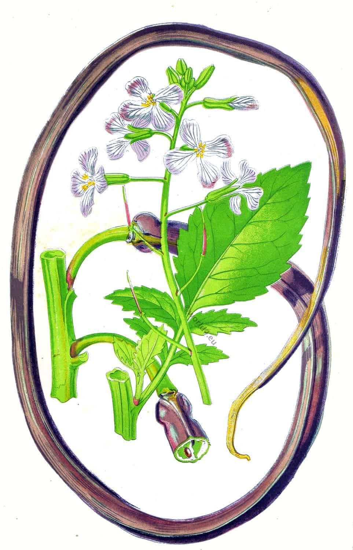 vegetable, Raphanus, caudatus, rat-tail, radish,