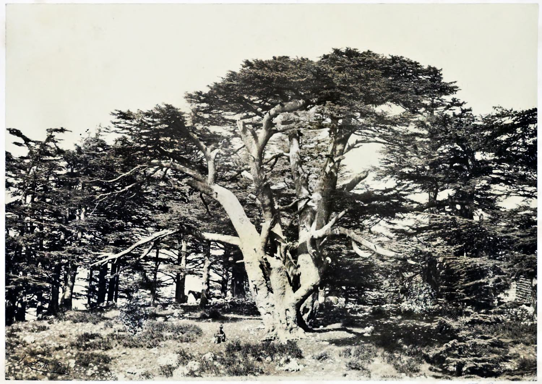Cedars, Mount, Lebanon, travel, tree, Francis Frith, Maronites